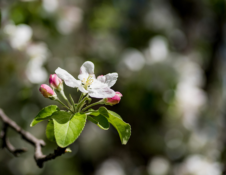 Apple-Blossom-for-website