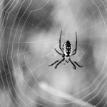 1st Place - Animals (Wild or Domestic) Black & White. A beautiful garden spider from last fall in front of Alex and Julie McGown's house. Look at it deeply, you know the white on the spider should be yellow.