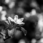 1st Place - Botanicals - Black & White An apple blossom from one of our trees by the ditch. I was working on background bokeh with my macro lens.